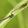 Frühe Adonislibelle (Pyrrhosoma nymphula) - Tandem