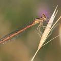 Rote Federlibelle (Platycnemis acutipennis) - Weibchen