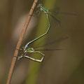 Kleine Binsenjungfer (Lestes virens) - Eiablage