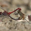 Blutrote Heidelibelle (Sympetrum sanguineum) - Paarungsrad