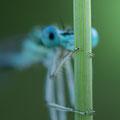 Blaue Federlibelle (Platycnemis pennipes) - Männchen