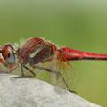 Frühe Heidelibelle (Sympetrum fonscolombii) - ausgefärbtes Männchen