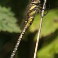 Aeshna mixta (Herbst-Mosaikjungfer) - Weibchen