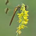 Gebänderte Heidelibelle (Sympetrum pedemontanum) - jüngeres Männchen