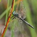 Somatochlora alpestris (Alpen-Smaragdlibelle) - Männchen