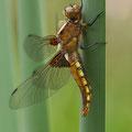 Plattbauch (Libellula depressa) - frisches Weibchen