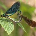 Blauflügel-Prachtlibelle (Calopteryx virgo) - Paarungsrad