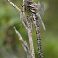 Aeshna subarctica (Hochmoor-Mosaikjungfer) - Frisches Weibchen