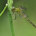 Gomphus pulchellus (Westliche Keiljungfer) - Männchen