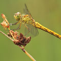 Südliche Heidelibelle (Sympetrum meridionale) - Junges Weibchen