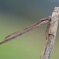 Gemeine Winterlibelle (Sympecma fusca) - Männchen