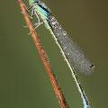 Kleine Pechlibelle (Ischnura pumilio) - Männchen