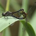 Schwarze Heidelibelle (Sympetrum danae) - Paarungsrad