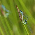 Gabel-Azurjungfer (Coenagrion scitulum) - Paarungsrad