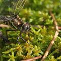 Aeshna subarctica (Hochmoor-Mosaikjungfer) - Weibchen bei der Eiablage
