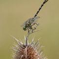 Onychogomphus forcipatus forcipatus (Kleine Zangenlibelle) - Männchen