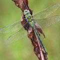 Anax imperator (Große Königslibelle) - Männchen