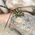 Onychogomphus uncatus (Große Zangenlibelle) - Junges Männchen