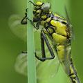 Gomphus vulgatissimus (Gemeine Keiljungfer) - frisches Weibchen