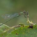 Westliche Weidenjungfer (Chalcolestes viridis) - Männchen
