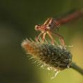 Rote Federlibelle (Platycnemis acutipennis) - Halbfrontalansicht Weibchen