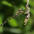 Cordulegaster bidentata (Gestreifte Quelljungfer) - Männchen