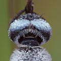 Spitzenfleck (Libellula fulva) - Männchen