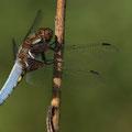 Plattbauch (Libellula depressa) - Männchen