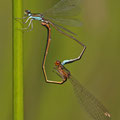Zwerglibelle (Nehalennia speciosa) - Paarungsrad