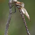 Aeshna juncea (Torf-Mosaikjungfer) - junges flugunfähiges Weibchen mit komplett deformierten Flügeln