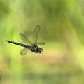 Brachytron pratense (Früher Schilfjäger) - Männchen