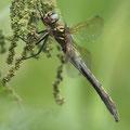 Oxygastra curtisii (Gekielter Flussfalke) - Weibchen