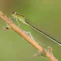 Kleine Pechlibelle (Ischnura pumilio) - Weibchen