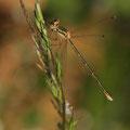 Südliche Binsenjungfer (Lestes barbarus) - Weibchen