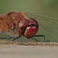 Blutrote Heidelibelle (Sympetrum sanguineum) - Porträt