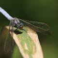 Kleiner Blaupfeil (Orthetrum coerulescens) - altes Männchen