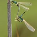 Kleine Pechlibelle (Ischnura pumilio) - Paarungsrad