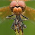 Gefleckte Heidelibelle (Sympetrum flaveolum) - Männchen