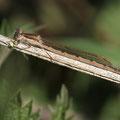 Gemeine Winterlibelle (Sympecma fusca) - Weibchen