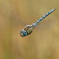 Aeshna affinis (Südliche Mosaikjungfer) - Männchen