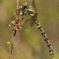 Onychogomphus uncatus (Große Zangenlibelle) - Junges Weibchen