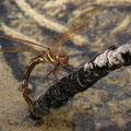 Aeshna grandis (Braune Mosaikjungfer) - Weibchen bei der Eiablage