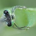 Große Pechlibelle (Ischnura elegans) - Männchen