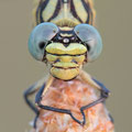 Onychogomphus forcipatus unguiculatus (Westliche Zangenlibelle) - Weibchen