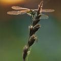 Sumpf-Heidelibelle (Sympetrum depressiusculum) - Weibchen