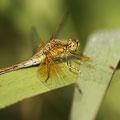 Gefleckte Heidelibelle (Sympetrum flaveolum) - frisches Weibchen