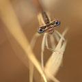 Rote Federlibelle (Platycnemis acutipennis) - Frontalansicht Männchen