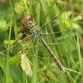 Anax imperator (Große Königslibelle) - Weibchen