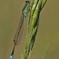 Tyrrhenische Pechlibelle (Ischnura genei) - Männchen