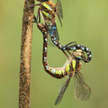Aeshna mixta (Herbst-Mosaikjungfer) - Paarungsrad